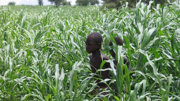 Fundação Rockefeller e Fundação Gates também estão destruindo a economia alimentar da África.